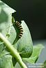 Monarch caterpillar.