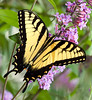 Tiger Swallowtail at Days