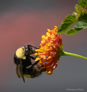 Bumblebee On Lantana Flower