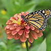 Monarch on 'Queen Red Lime' Zinnia