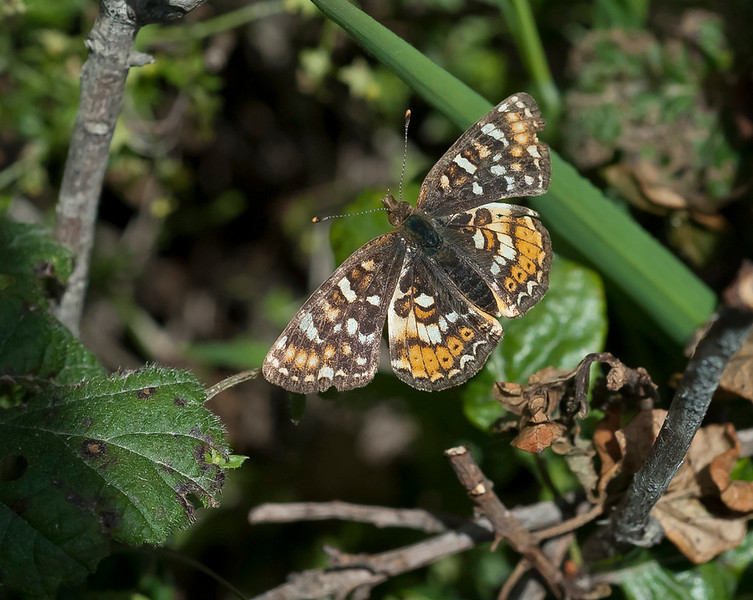 Field crescent (Phyciodes campestris)