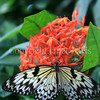 Rice Paper Butterfly on Ixora