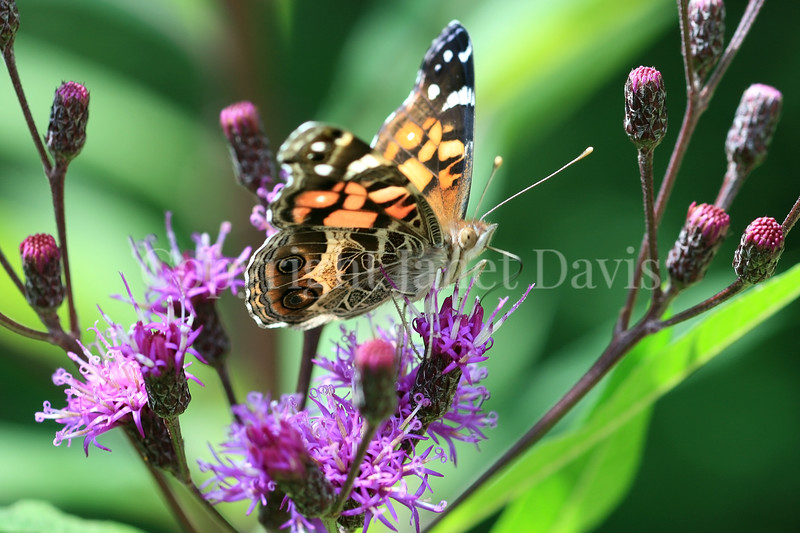 American Painted Lady Butterfly on New York Ironweed 1