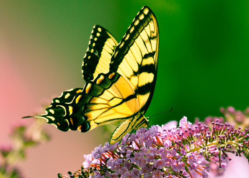 Tiger Swallowtail Over Processed