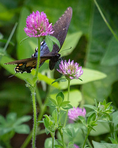 Female Tiger Swallowtail Nectaring on Clover
