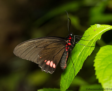 Emerald-patched Cattleheart, Parides sesostris, from the Green Hills Butterfly Ranch in Belize.