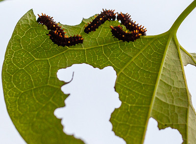 tiny polydamas swallowtail caterpillars