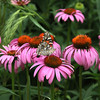 Painted Lady Butterfly on Purple Coneflower 2