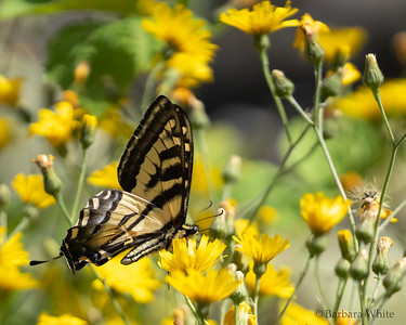 Western Tiger Swallowtail in Yellow Flowers
