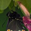 butterfly   611