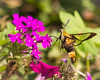 Hummingbird Moth Nectaring