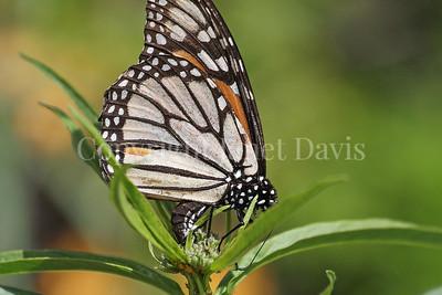 Monarch Butterfly Ovipositing on California Narrowleaf Milkweed 1