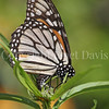 Monarch Butterfly Ovipositing on California Narrowleaf Milkweed 1