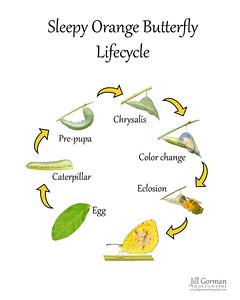 Lifecycle sleepy orange