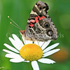 American Painted Lady Butterfly on Oxeye Daisy
