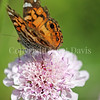 American Painted Lady Butterfly on Scabiosa