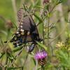 butterfly              1fb