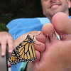 Monarch Butterfly Tasting Salt From Sweat on Man's Toe 5