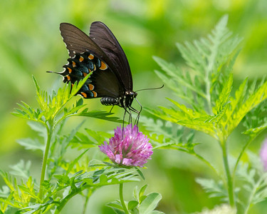1 Spicebush Swallowtail