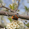 Red Admiral Butterfly on Plum Blossoms 3