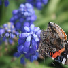 Red Admiral Butterfly on Grape Hyacinth 1