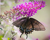 swallowtail female -- 3-1