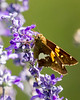 silver spotted skipper-1