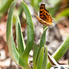 Oreas (gray) comma  (Polygonia progne oreas)