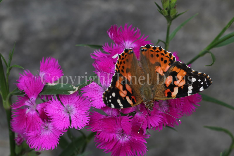 Painted Lady Butterfly on China Pinks 6