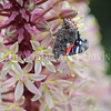 Red Admiral Butterfly on Pineapple Lily 1