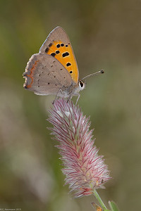 Purple-edged Copper (Lycaena hippothoe)
