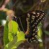 butterfly       511sm