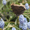 Mourning Cloak Butterfly on 'Valerie Finnis' Grape Hyacinths