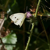Cabbage White (Pieris rapae) female