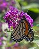 monarch 2-1