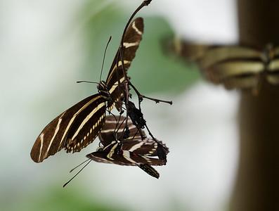 zebra longwings roosting