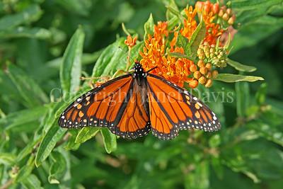 Monarch Butterfly on Butterfly Milkweed 4