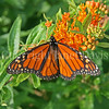 Monarch Butterfly on Butterfly Milkweed 4