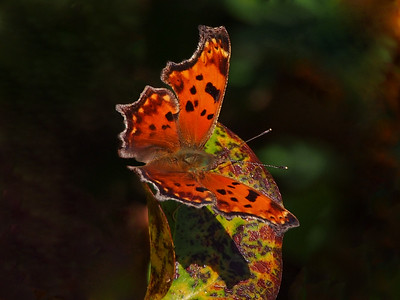 Eastern Comma, winter form