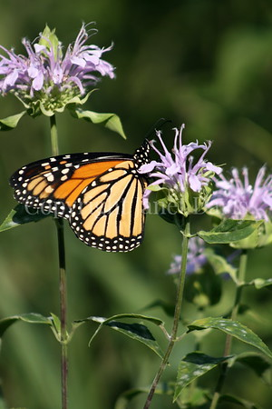 Monarch Butterfly on Wild Beebalm
