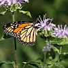 Monarch Butterfly on Wild Beebalm