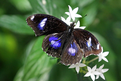 """Great Eggfly"""