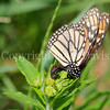 Monarch Butterfly Ovipositing on Butterfly Milkweed 4