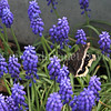 Mourning Cloak Butterfly on Grape Hyacinths 1