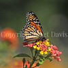 Monarch Butterfly on Lantana 4