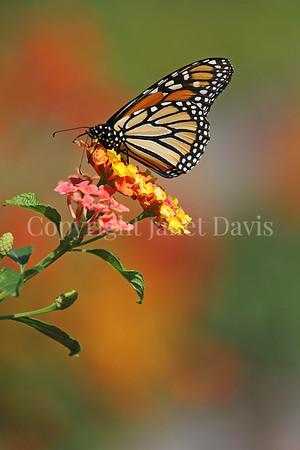 Monarch Butterfly on Lantana 6