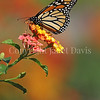 Monarch Butterfly on Lantana 6