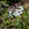 Checkerspot on common yarrow<br /> Euphydryas chalcedona