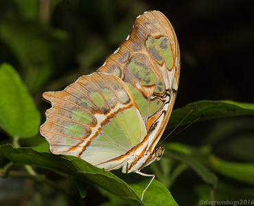 Malachite butterfly (Nymphalidae: Siproeta stelenes) from the Green Hills Butterfly Ranch in Belize.
