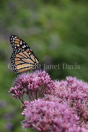 Monarch Butterfly on 'Gateway' Joe Pye Weed 1